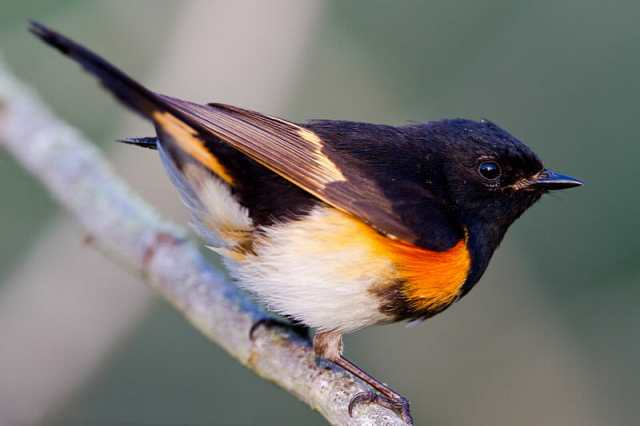 800px-American_Redstart_of_Quintana_Texas1