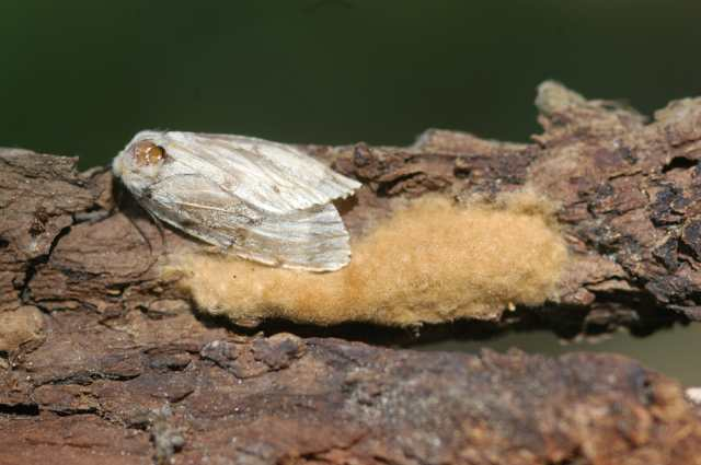 gypsy_moth_widnr_flickr_dj