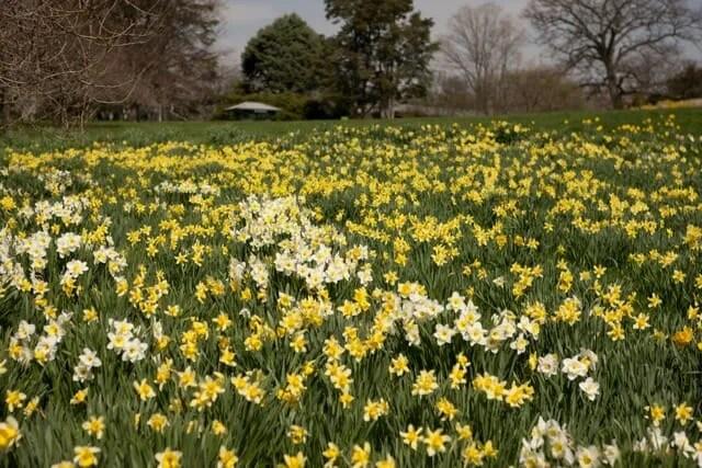 MEC-Daffodil-Hill