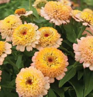 Zinderella Peach zinnia from Johnny's
