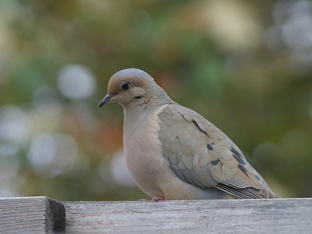 Mourning Dove © Joanne Kamo