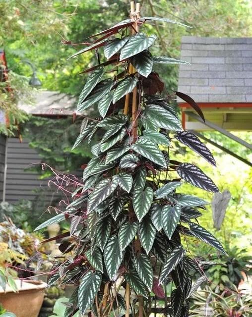 cissus discolor or rex begonia vine