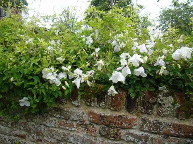 clematis on wall Brushwood