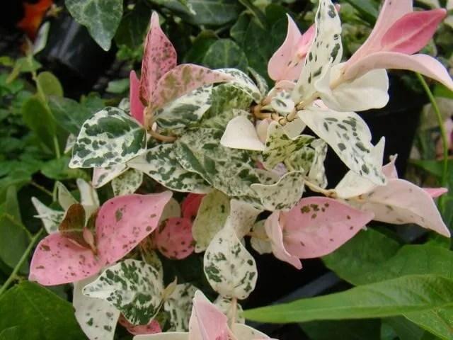 trachelospermum hatsuyuki Brushwood