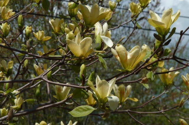 Designing With Magnolias With Andrew Bunting A Way To Garden