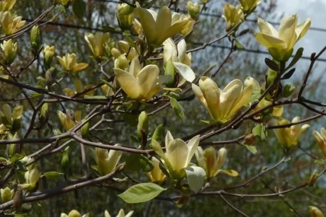 Magnolia 'Golden Gift' - Broken Arrow Nursery, Hamden Ct - 2011.0508 045-Arboretum Wespelaar