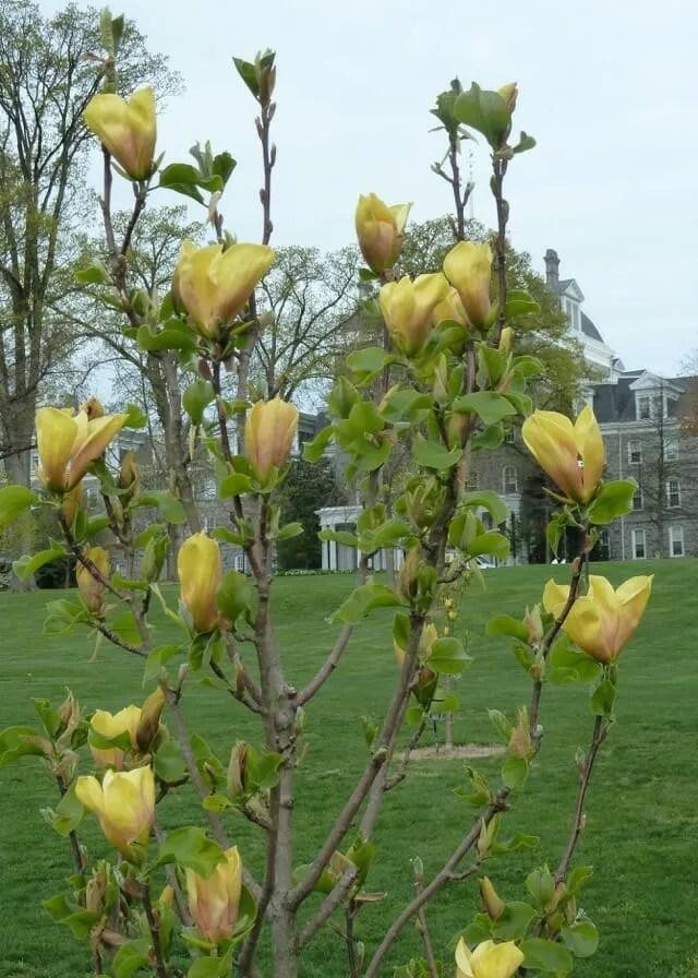 Magnolia 'Judy Zuk' (2) JWC-Scott Arboretum