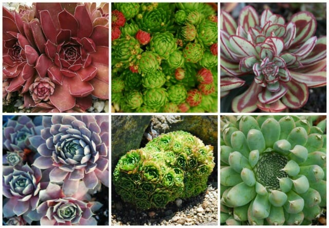 hens and chicks collage