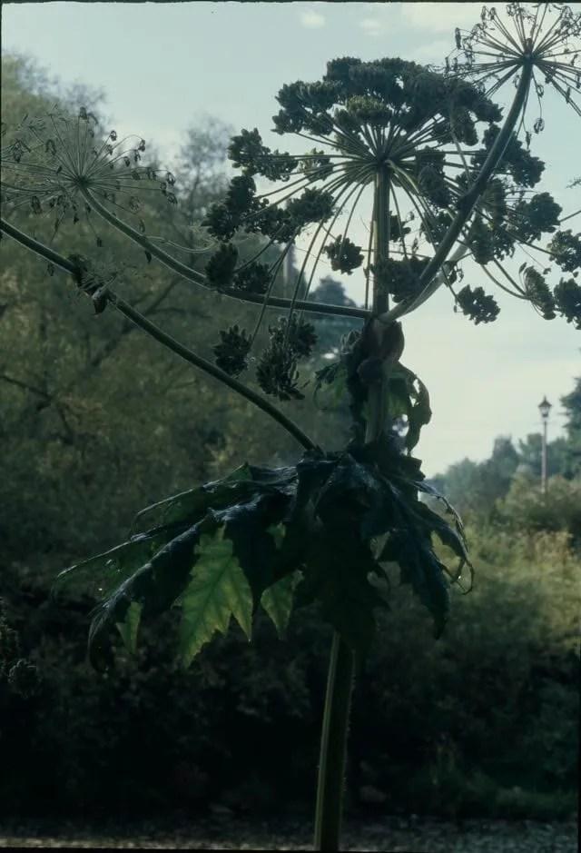 Giant Hogweed 2