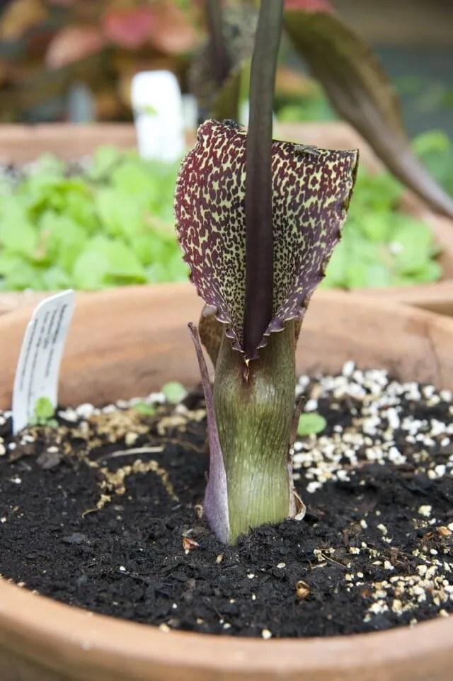 sauromatum bloom