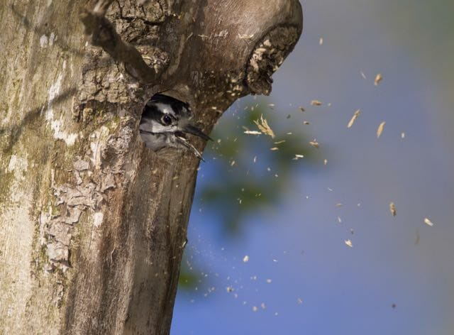 Downy Woodpecker (Picoides pubescens) excavating nest cavity, tossing beakful of woodchips out of nest hole in treetrunk, Lansing, New York, USA