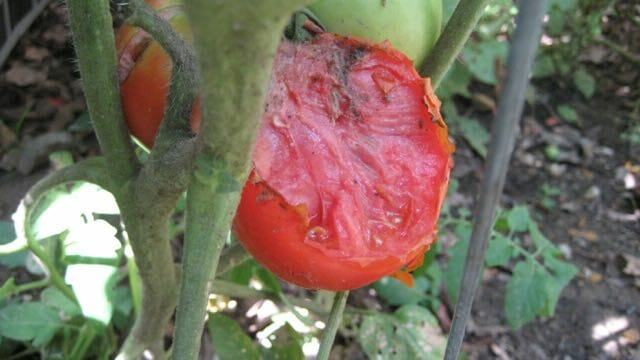 chipmunk damage to tomato