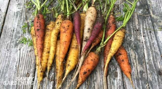fall-carrots-2