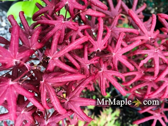 buy-acer-palmatum-peve-starfish-japanese-maple-in-spring