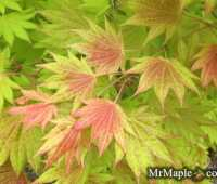 a world of unusual japanese maples, ginkgoes, and metasequoias, with tim nichols
