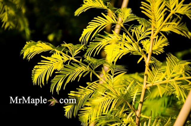 buy-metasequoia-glyptostroboides-ogon-golden-dawn-redwood-tree-1