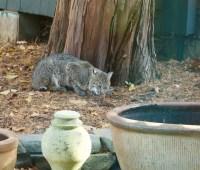 Eastern bobcat by kitchen door
