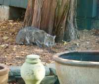 Eastern bobcat by kitchen door