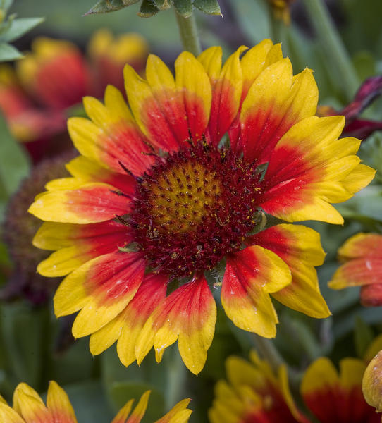 Gaillardia from Xerces Society
