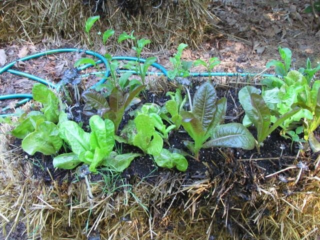 salad growing in straw bale gardens at craig lehoullier's