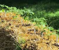 straw-bale garden how-to, with craig lehoullier