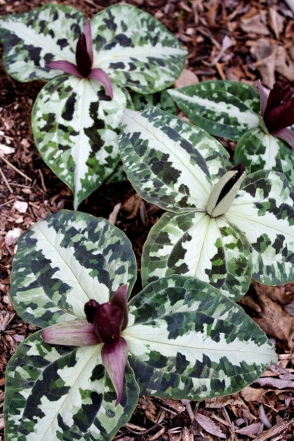 Growing Trilliums With Tony Avent Of Plant Delights A Way To Garden