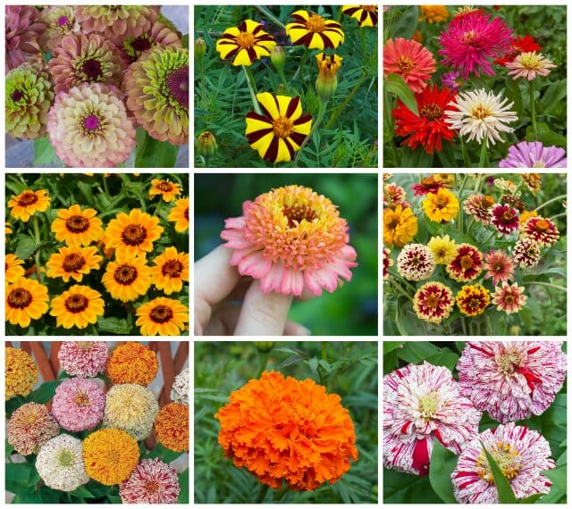A Diversity Of Marigolds And Zinnias Old And New With Marilyn