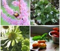 unripe tomatoes, japanese beetles, late-start vegetable gardens and more: q&a with ken druse