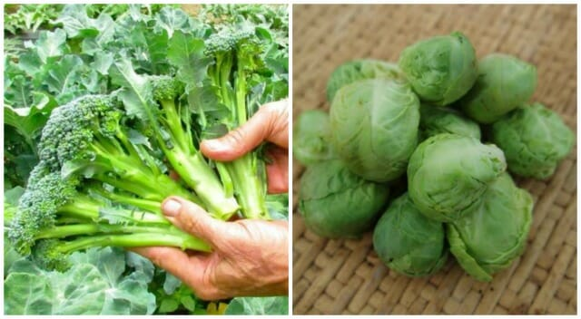 success with brassicas (including brussels sprouts), with