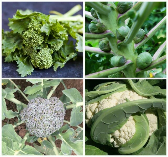 success with brassicas (including brussels sprouts), with don