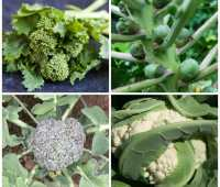 success with brassicas (including brussels sprouts), with don tipping