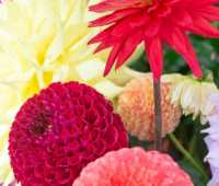 how to grow and store dahlias, with longwood's roger davis