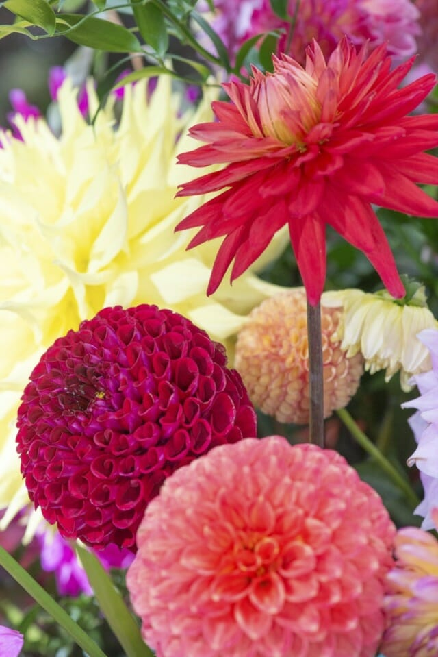 How To Grow And Store Dahlias With Longwood S Roger Davis A Way