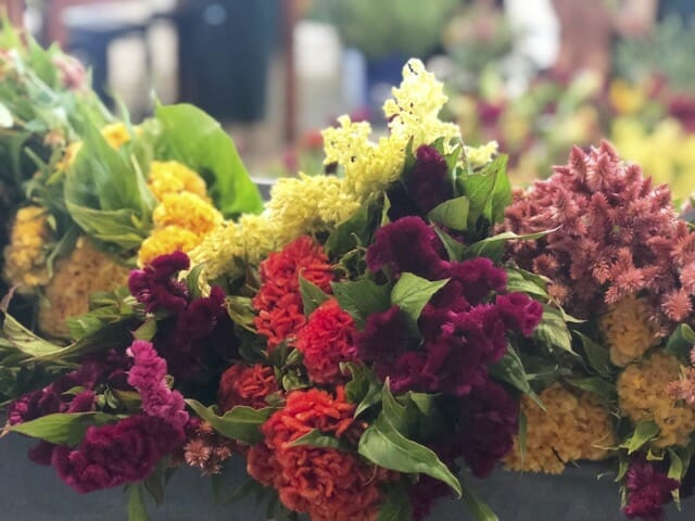 mixed Celosia at Tiny Hearts Farm
