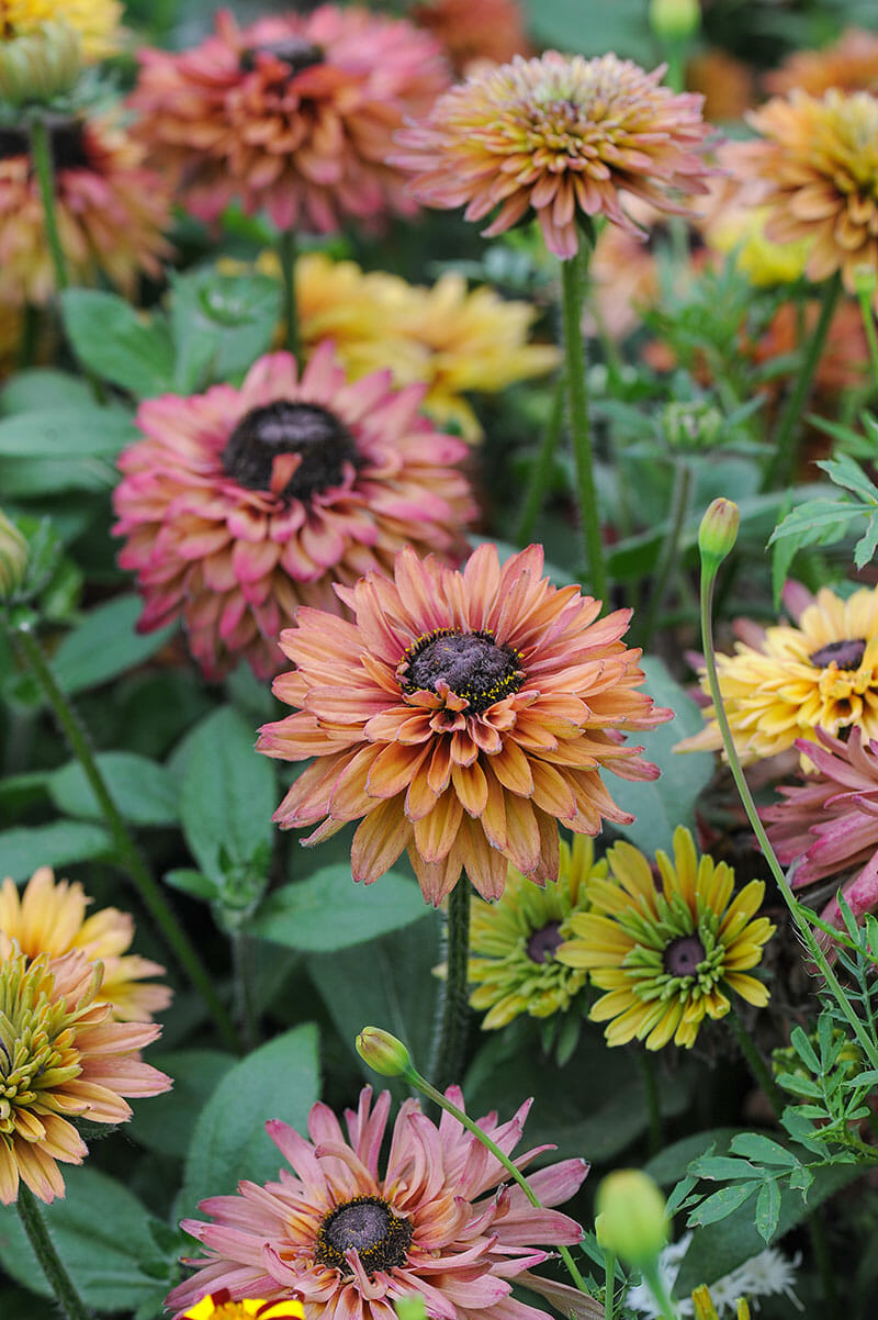 Rudbeckia Sahara from Select Seeds catalog