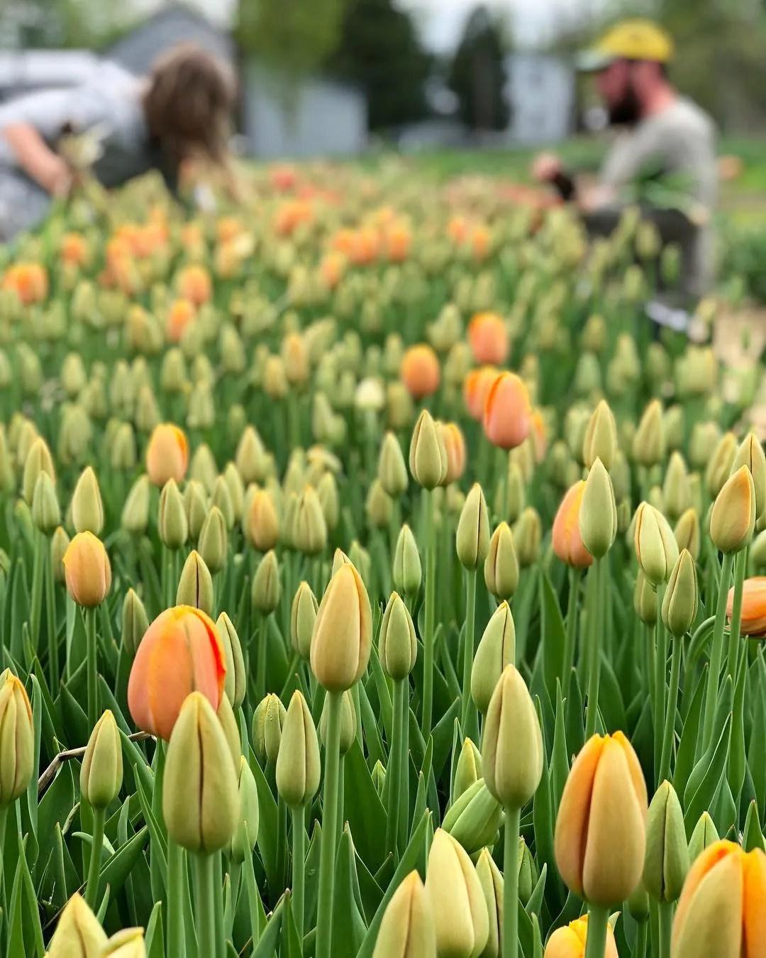 tulips at Tiny Hearts Farm, Copake NY