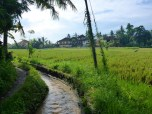 The canal and rice fields beyond Whitney Bungalow.