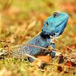 A blue chameleon on the grass and shrubs in Swaziland, Africa.