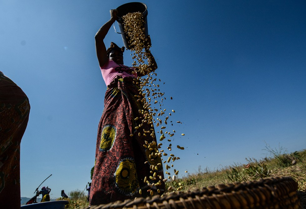 Drought-resilient beans in Tanzania