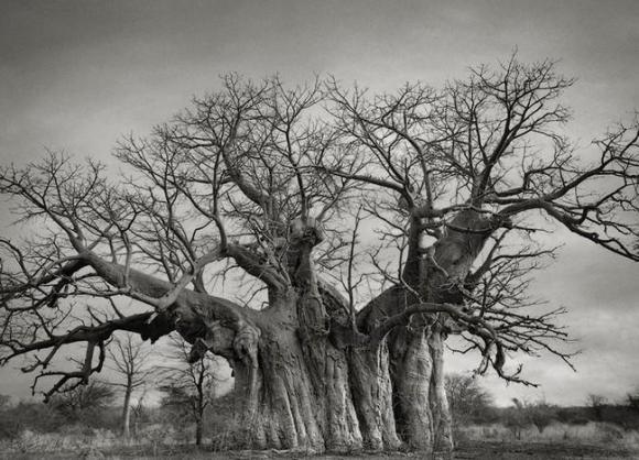 Árvores Ancestrais (3)