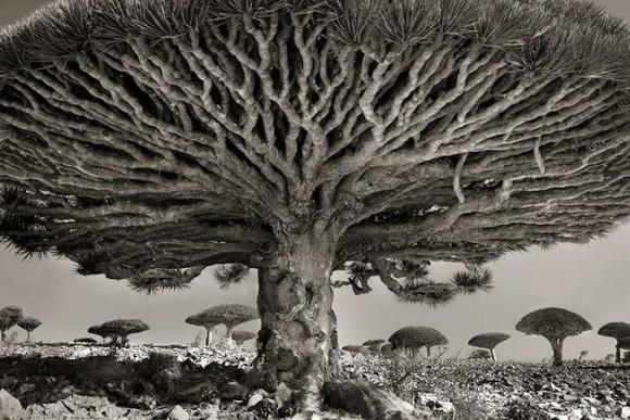Árvores Ancestrais (8)