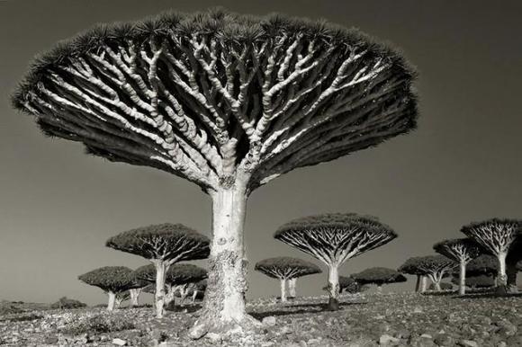 Árvores Ancestrais (9)