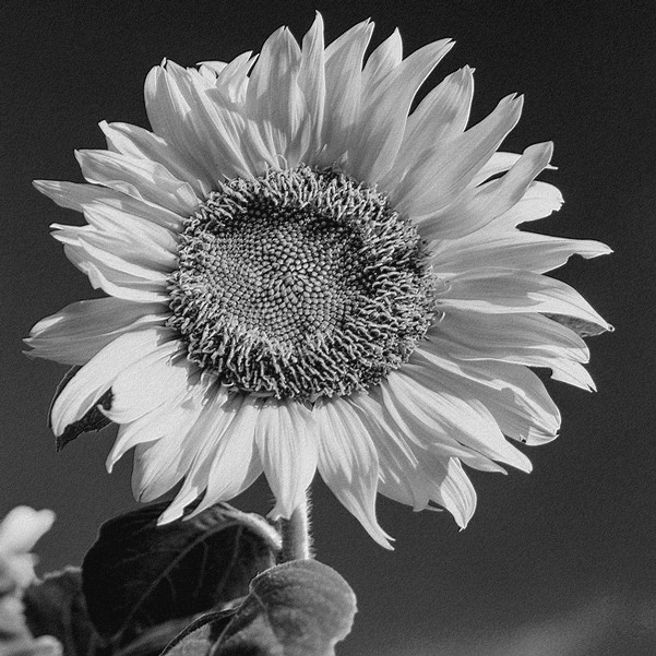 photo of sunflower black and white