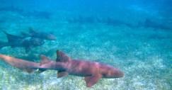 Snorkeling with nurse sharks in Belize