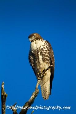 Mystery hawk staring at us!