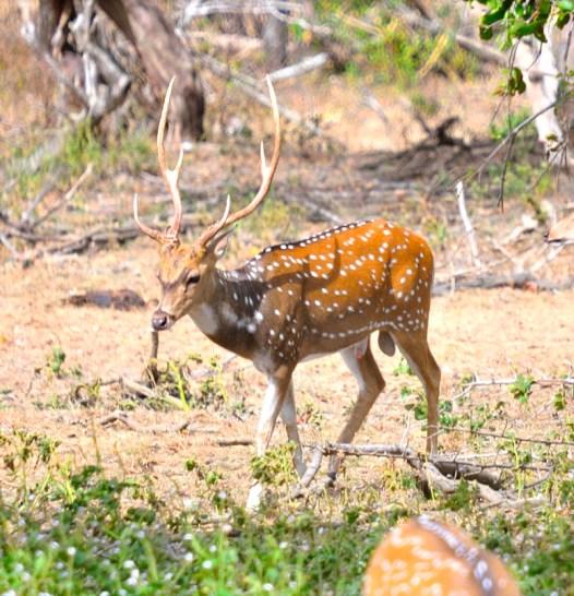 Sri Lankan Axis Deer