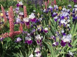 Iris gardens in spring