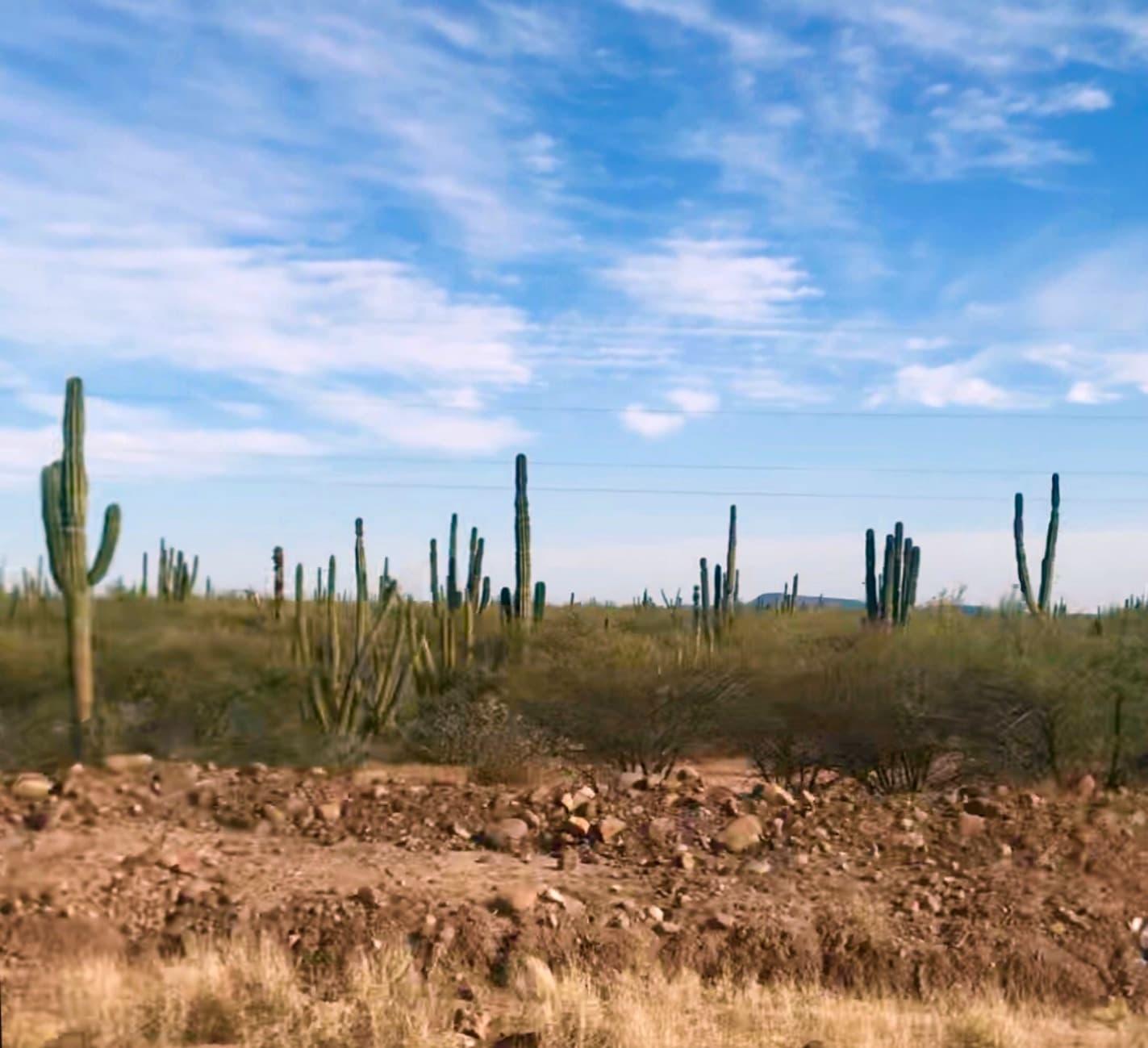Sagura and cardon Cactus in Baja Mexico