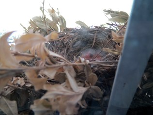 Newly hatched house finches - 6/8/16