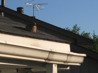 Morning Dove Watching Nest - 5/25/11